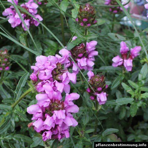 prunella grandiflora