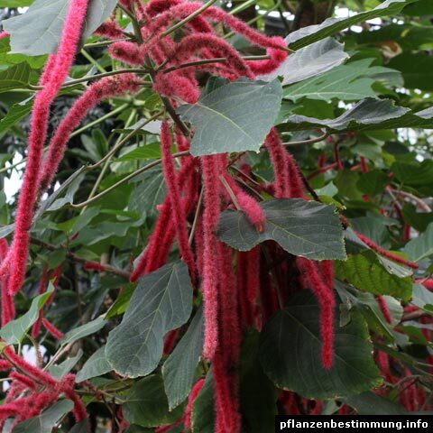 Acalypha hispida