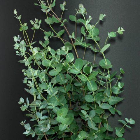 eucalipto-de-gunn