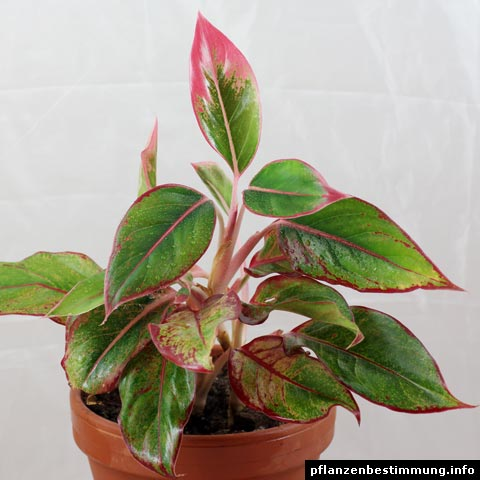 Aglaonema sp.