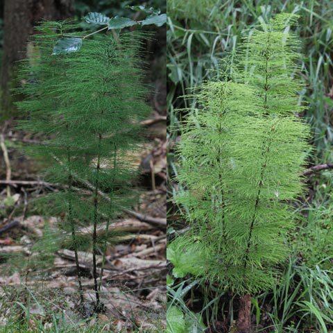 Equisetum sylvaticum