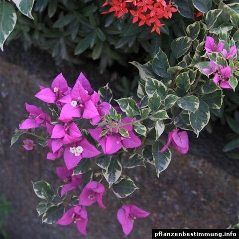Bougainvillea glabra Variegata