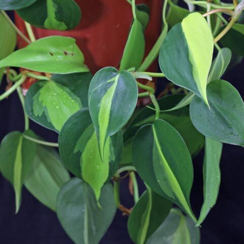 Philodendron hederaceum