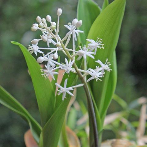 Speirantha gardenii