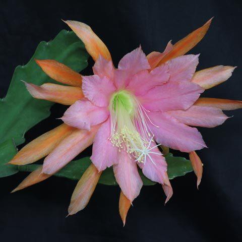 Epiphyllum Tantico