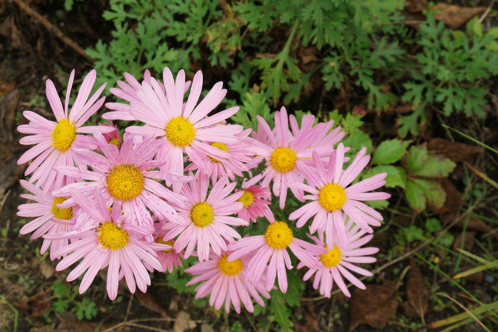 Chrysanthemum zawadskii Clara Curtis 3