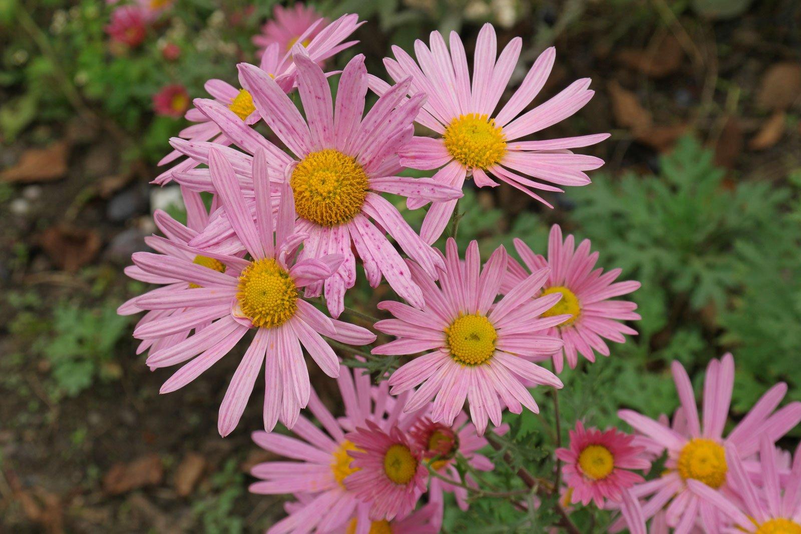 Chrysanthemum zawadskii Clara Curtis 4