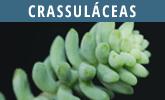 Crassuláceas