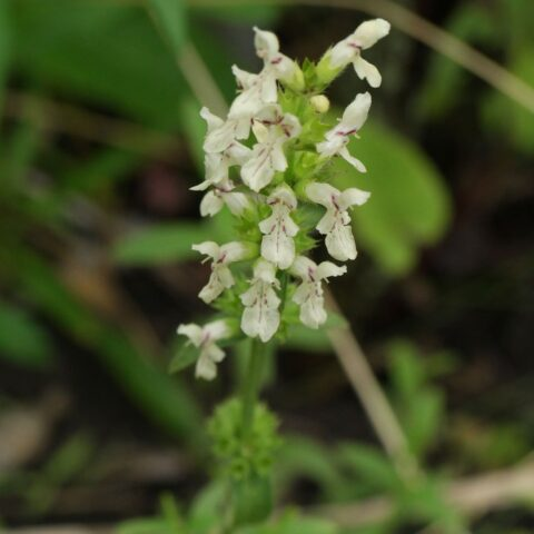 Stachys recta