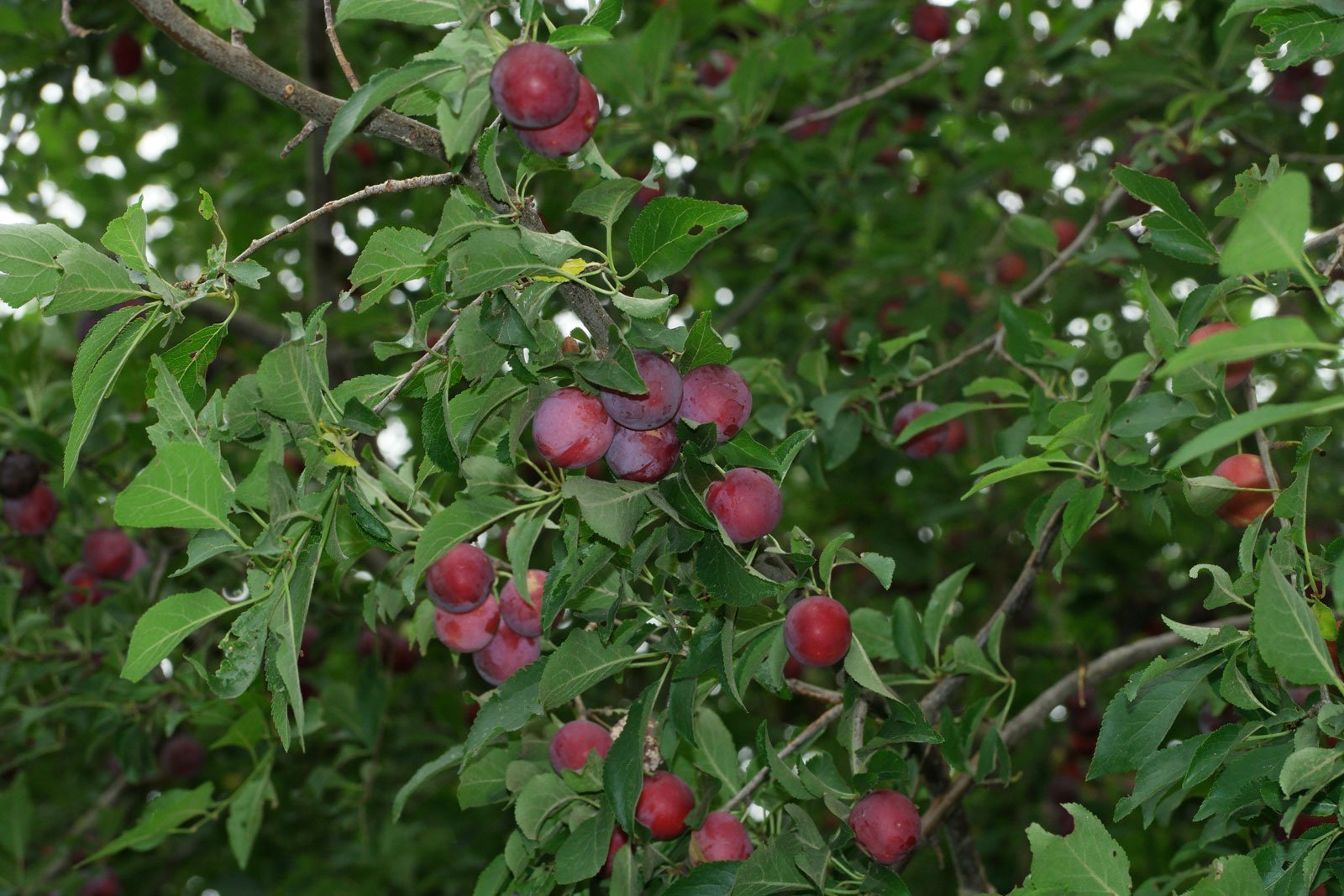 cerejeira-roxa
