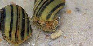Gastrópodes