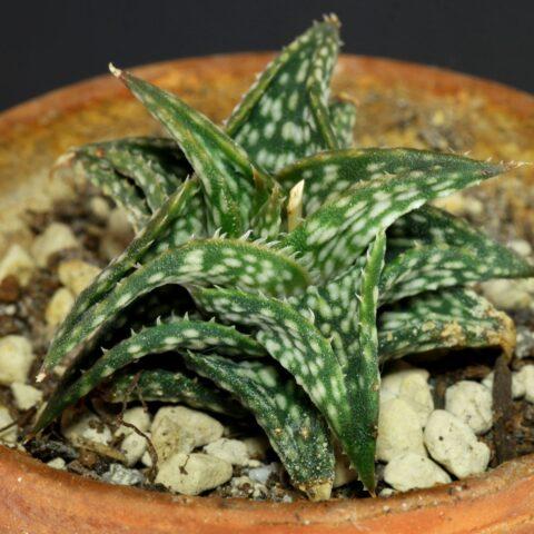 Aloe descoingsii