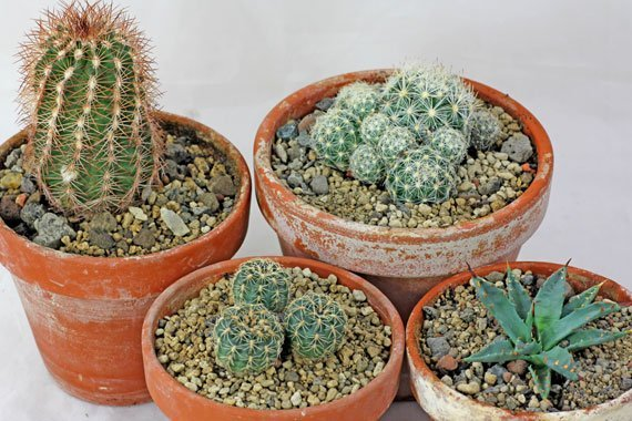 Cactos e outras suculentas