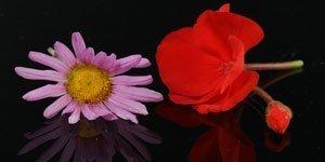 Vermelho Rosa